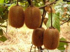 猕猴桃属的其他物种形态有些差异,详情请看各