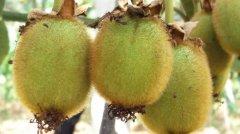 冬季进补猕猴桃的神奇功效和作用!
