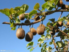 猕猴桃栽培管理的十大关键点