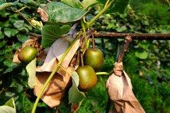 猕猴桃的大家族,你知道有几个颜色吗?