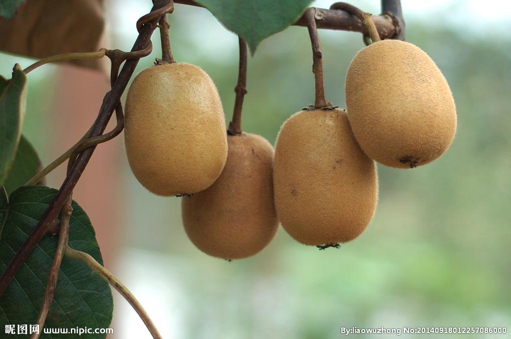 海沃德绿心猕猴桃