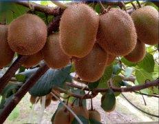 徐香猕猴桃出产在哪里,什么时间成熟?
