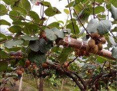 <b>知道吗,买了早摘的猕猴桃相当于吃淀粉!</b>