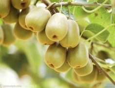红阳与徐香猕猴桃的区别/外观/口味/价格/成熟期
