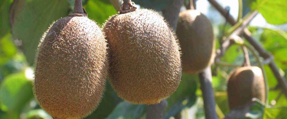 猕猴桃能减肥吗?