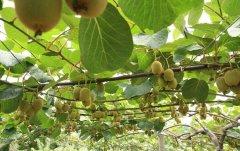 华优和翠香猕猴桃有什么