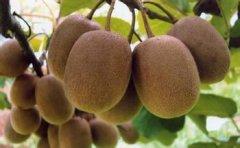 猕猴桃组织培养和快繁技术研究
