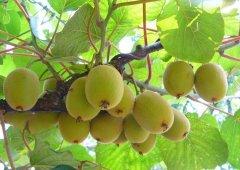 """猕猴桃是天然的""""玻尿酸"""