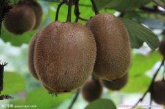 怀孕初期可以吃猕猴桃吗