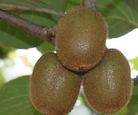 徐香猕猴桃营养价值