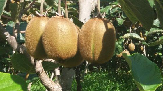 野生猕猴桃能吃吗?