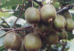 徐香和秦美猕猴桃的区别