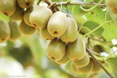 红心猕猴桃和海沃德猕猴桃的区别/外观/口味/价