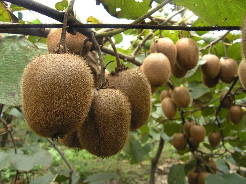 徐香猕猴桃介绍,口味,含糖量,特性,产区。