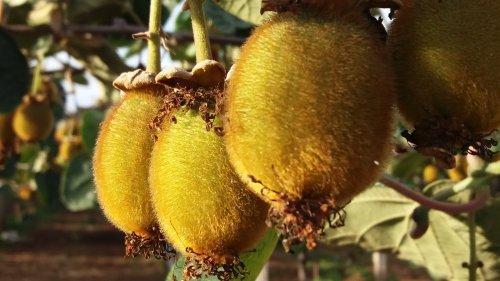 徐香猕猴桃图片