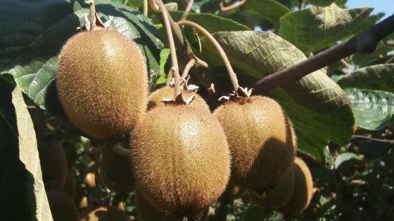 8月份眉县猕猴桃能买了吗?