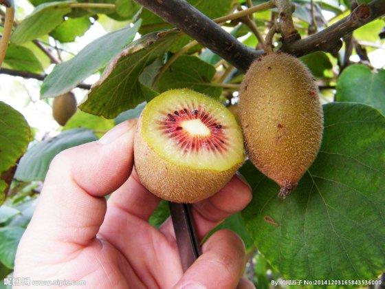 红心猕猴桃(红色果肉)成熟时间和采摘时间