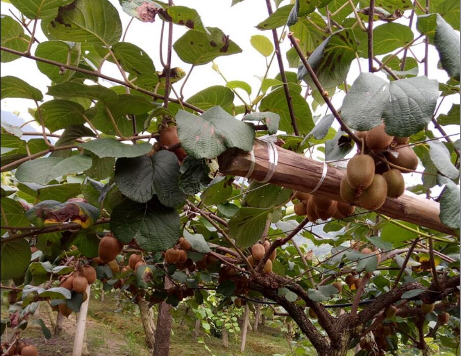 知道吗,买了早摘的猕猴桃相当于吃淀粉!