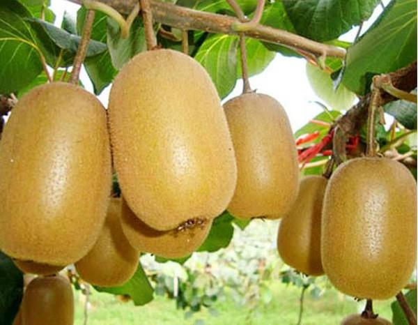 徐香绿心猕猴桃,价格