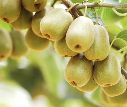 红心猕猴桃的价格为什么那么贵?看了你就知道。-营养价值