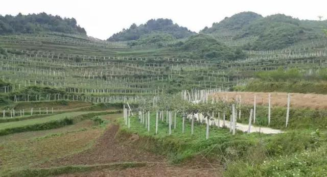 捍卫中国猕猴桃地位,贵州猕猴桃在行动!