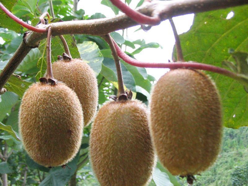 猕猴桃的功效与禁忌-作用功效