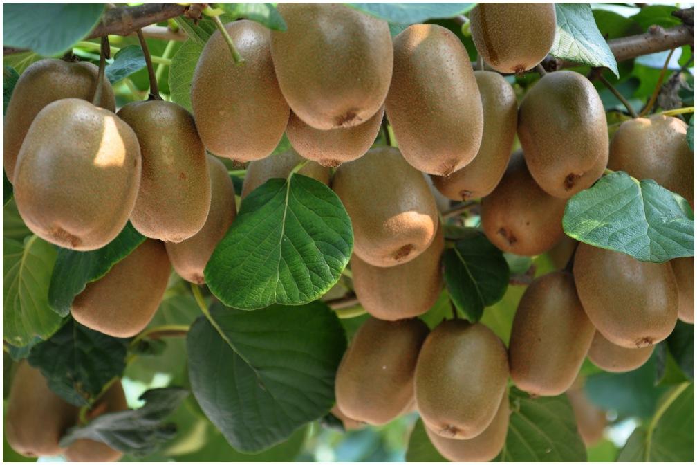 夏季自然美白选对方法很重要 巧用猕猴桃助力-作用功效