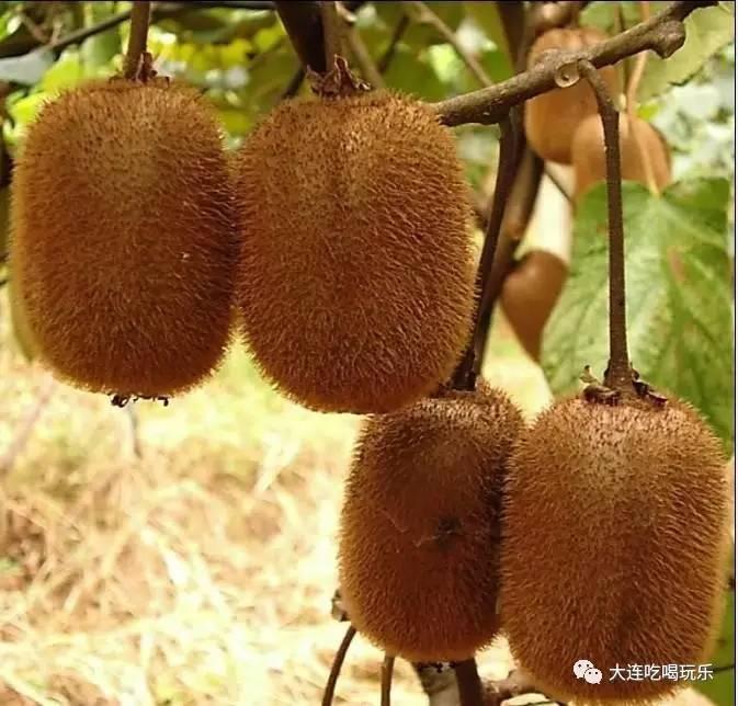 猕猴桃的奇异功效连医生都称奇-营养价值