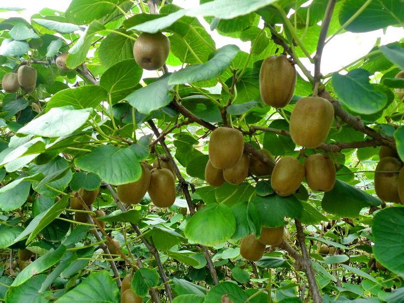 白节镇400亩猕猴桃首次挂果 产销两旺