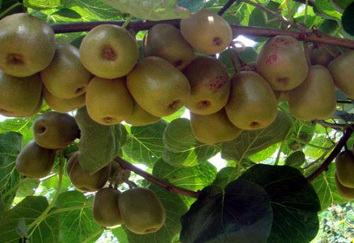 没软的猕猴桃能吃吗 猕猴桃怎么吃才更有营养-