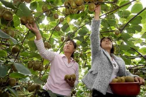 【农业园区展示】猕猴桃淘宝村的生意经——走进西安市周一现代农业园区