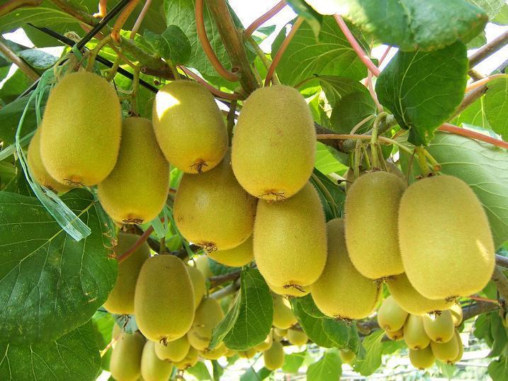 江苏新西兰猕猴桃挂果海门市绿艺家庭农场-营养价值
