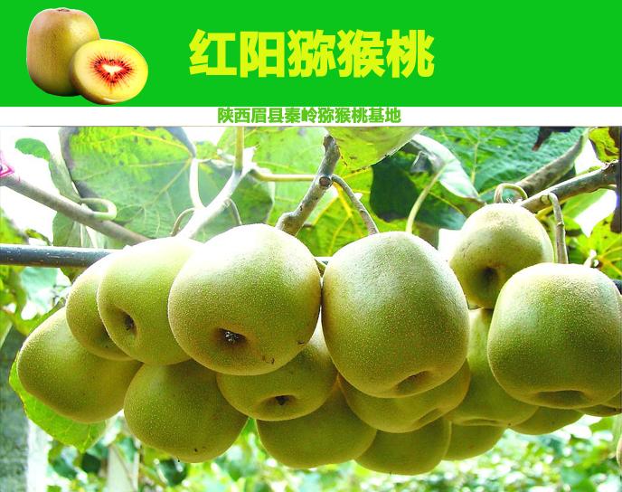 红阳猕猴桃果