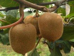 徐香猕猴桃和亚特猕猴桃