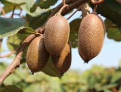 徐香猕猴桃和翠香猕猴桃