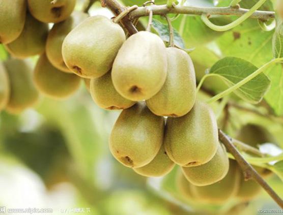 红阳与徐香猕猴桃的区别/外观/口味/价格/成熟期/营养价值/储存时间