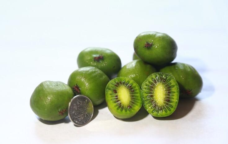 日本研究表示:食用软枣猕猴桃汁具有抑制放射线危害的作用