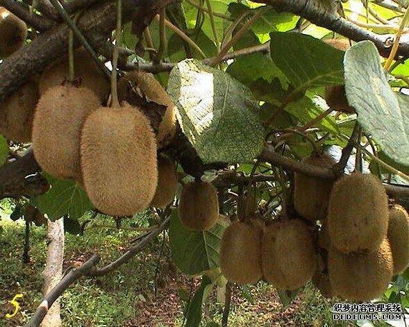 中国农场主大会暨2017猕猴桃产业峰会在蒲江召开
