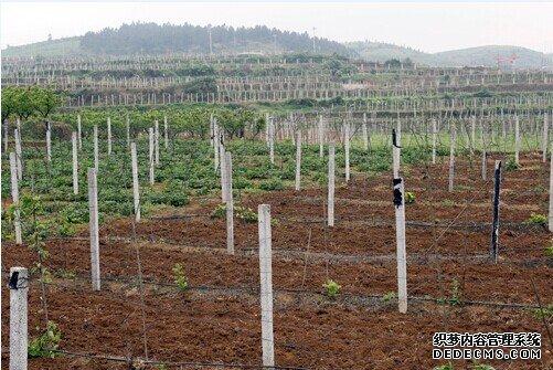 白帝镇:猕猴桃扶贫产业园3900米田间便道完工