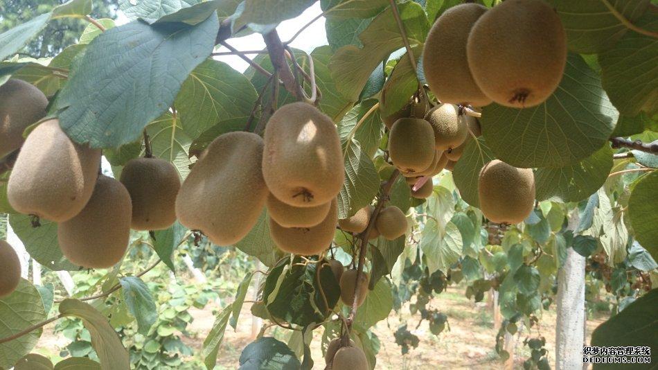 台湾中小企业总会农业代表团考察修文县猕猴桃种植基地