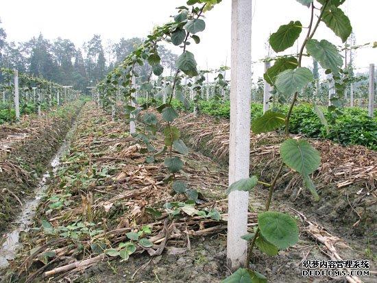 夏季高温猕猴桃园如何保湿