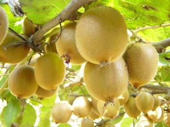 盘点水果中的维生素C之王