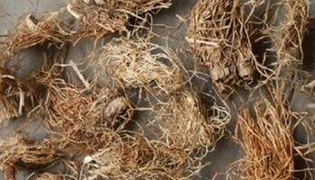 猕猴桃根有清热利湿 防肿瘤抗癌功效