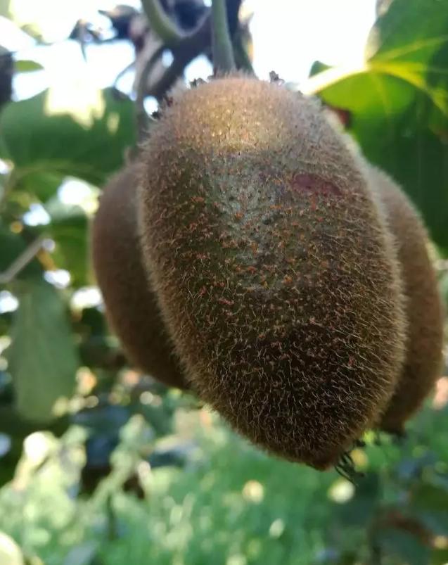 周至猕猴桃种植协会组织专家冒高温考察翠香猕猴桃基地