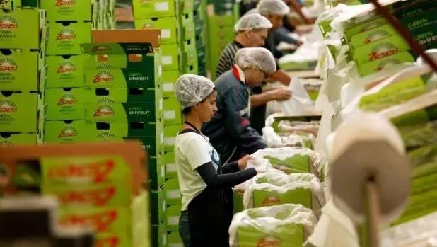 拿去喂牲口也不卖!在奇异果包装厂工作6个月后,她说......