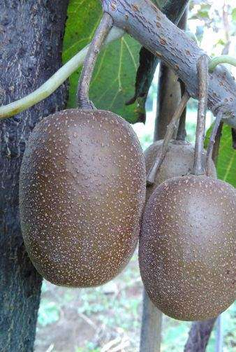 新西兰最新的魅力黄金奇异果品种介绍