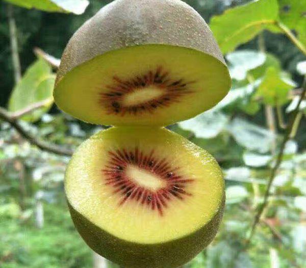 浅谈影响红心猕猴桃春季萌芽整齐度的主要因素