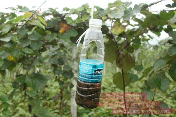 红心猕猴桃果园防止金龟子方法介绍