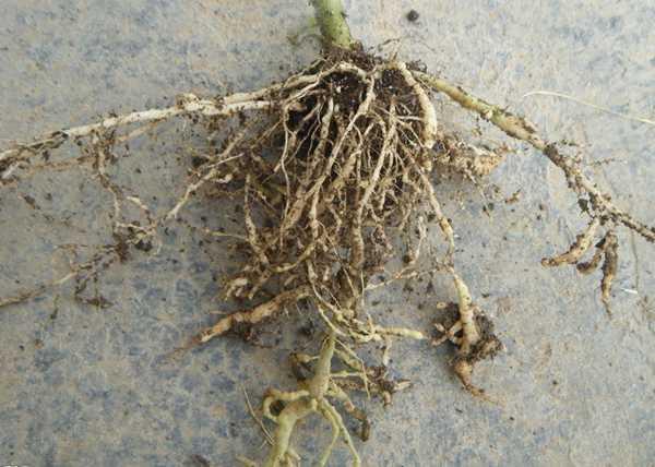 老树发新芽,一种专门治疗猕猴桃根线虫的老兵–噻唑磷
