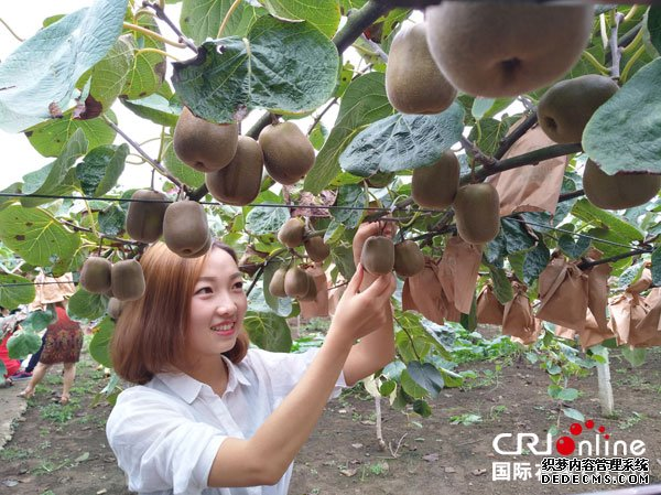 宜宾市兴文县共乐镇首届猕猴桃亲子采摘节开幕